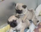 台州哪有巴哥犬卖 台州巴哥犬价格 台州巴哥犬多少钱