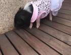 上海普陀区荷兰猪转租-宠物猪租赁-小香猪出租-广告电影拍摄