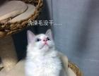 布偶猫宝宝带证书