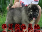 大连高加索犬舍出售俄罗斯护卫犬巨型熊版高加索犬幼犬