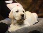 上门700 精品拉布拉多犬 协议有保障 公母多只可选