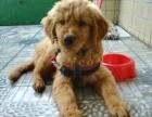 金毛幼犬bb