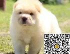 纯种松狮狗狗出售