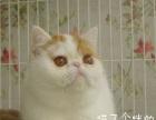 济宁同城纯种家养加菲小萌猫