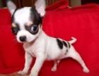 出售吉娃娃小狗狗纯种包健康活体宠物吉娃娃幼犬8