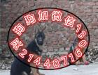 国内较大繁殖基地 出售双血统德国牧羊犬 警犬后代