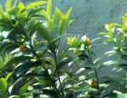 盆栽金桔树苗