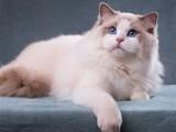 布偶猫活体幼猫纯种宠物猫咪可爱仙女猫