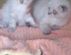 家养名幼猫出售,接受电话联系上门看猫,价格可面议