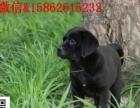伴侣犬拉布拉多、专业繁殖、品质保证实物拍摄