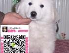 苏州大白熊犬领养赠养价格 巨型大白熊宠物狗转让买卖交易