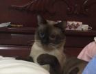 暹罗 两岁成年 公猫