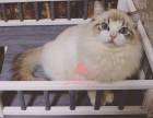 哈尔滨哪里的布偶猫比较便宜健康 哈尔滨什么地方可以买到布偶猫