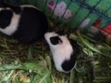 荷兰猪又称豚鼠 只有3只
