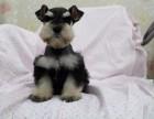 西安纯种雪纳瑞价格 西安哪里能买到纯种雪纳瑞犬