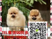 广州小型犬 纯种博美犬 俊介犬 贵宾 泰迪犬 购犬保健康半年