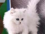 上海长宁精品金吉拉幼猫价格多少钱一只
