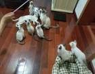 青岛地区出售2个月大暹罗猫6只可以选择