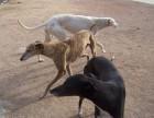 出售全活灵缇犬公母均有 颜色全 灵缇犬价格美丽