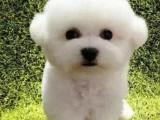 比熊 卖比熊犬 重庆出售比熊犬