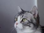 家养纯种加白美短标斑虎斑猫 净梵文美短猫领养