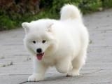 大型犬舍繁殖高品质萨摩耶健康有保证欢迎上门