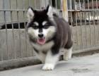 福州纯种阿拉斯加价格 福州哪里能买到纯种阿拉斯加犬