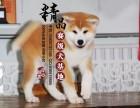 常州哪里出售纯种秋田幼犬