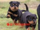沈阳哪里卖罗威纳犬 纯种罗威纳多少钱 罗威纳犬舍繁殖基地