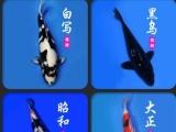 精品锦鲤出售批发(1200尾)