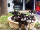佛山出售 纯种雪纳瑞幼犬 疫苗齐全出售中 可签协议健康保障
