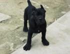 纯种卡斯罗幼犬出售质量好价格便宜全国包邮