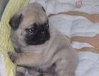 本地正规犬场一出售憨厚可爱巴哥幼犬一包养活一签协议