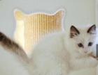 进口布偶猫,包健康包纯种,公母都有