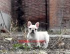 南京哪里有法国斗牛犬出售 南京黑白斗牛多少钱 奶白色法牛