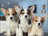 柯基犬柯基幼犬純種家養繁殖短腿小柯基出售精品家養活體寵物狗