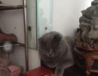蓝猫英短自家繁殖