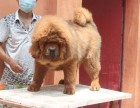 买狗找我 潍坊哪里有卖纯种藏獒,藏獒多少钱?