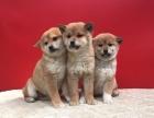 重庆高品质的柴犬 秋田 吉娃娃 出售了 疫苗做完 质量三包