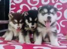 成都狗狗之家长期出售高品质 阿拉斯加 售后无忧