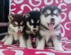 重庆狗狗之家长期出售高品质 阿拉斯加 售后无忧