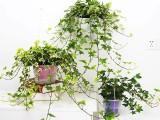 重庆盆花植物出租,重庆植物出租