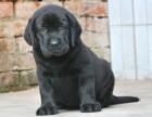 纯种拉布拉多幼犬出售 活体家养拉布拉多包健康
