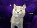 日照卖宠物猫英短蓝胖子找新家