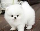 出售纯种博美犬博美幼犬哈多利球形博美俊介宝宝