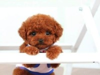苏州本地养殖狗场一直销各种世界名犬 常年售卖 泰迪熊