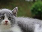 单c英短蓝白公猫