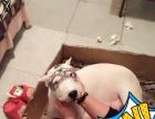 杜高幼犬出售(双血统)带出生纸 已做耳朵