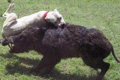 出售杜高犬,二三个月公母都有