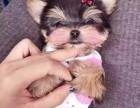 女生最爱养纯种玩具大眼睛约克夏宝宝 金头银背袖珍犬